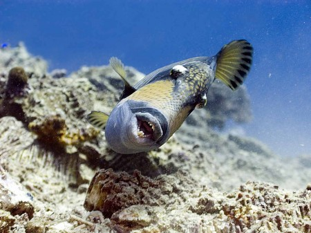 Titan Triggerfish (Balistoides viridescens) show us his formidible teeth