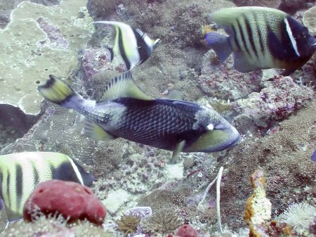 Titan Triggerfish (Balistoides viridescens) swimming between two Six-Banded Angelfish