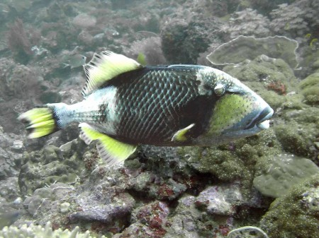 The Titan Triggerfish - Balistoides viridescens