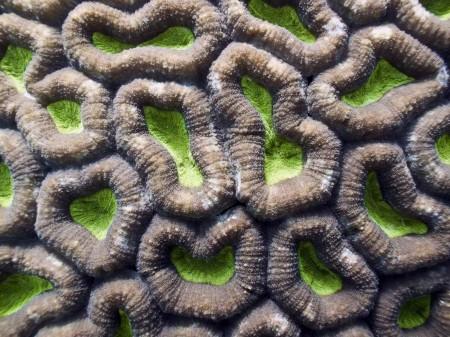 Coral (Favites sp.)