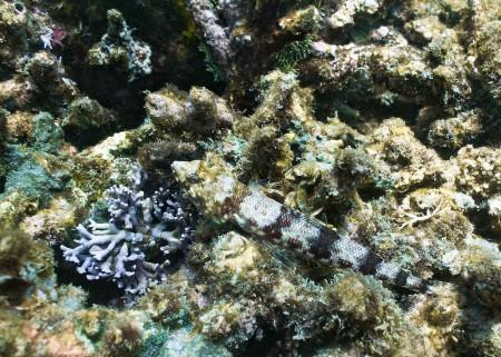 Reef Lizardfish (Synodus variegatus)
