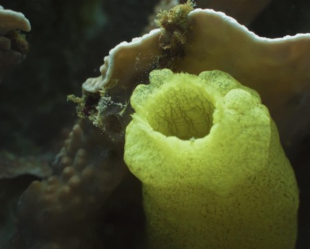 Sea Squirt (Phallusia julinea)