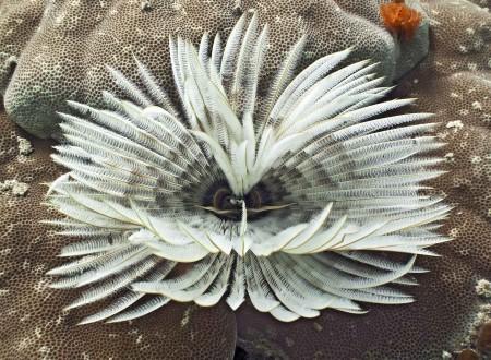 Tubeworm (Sabellastarte sanctijosephi)