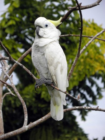 Wili the Cockatoo