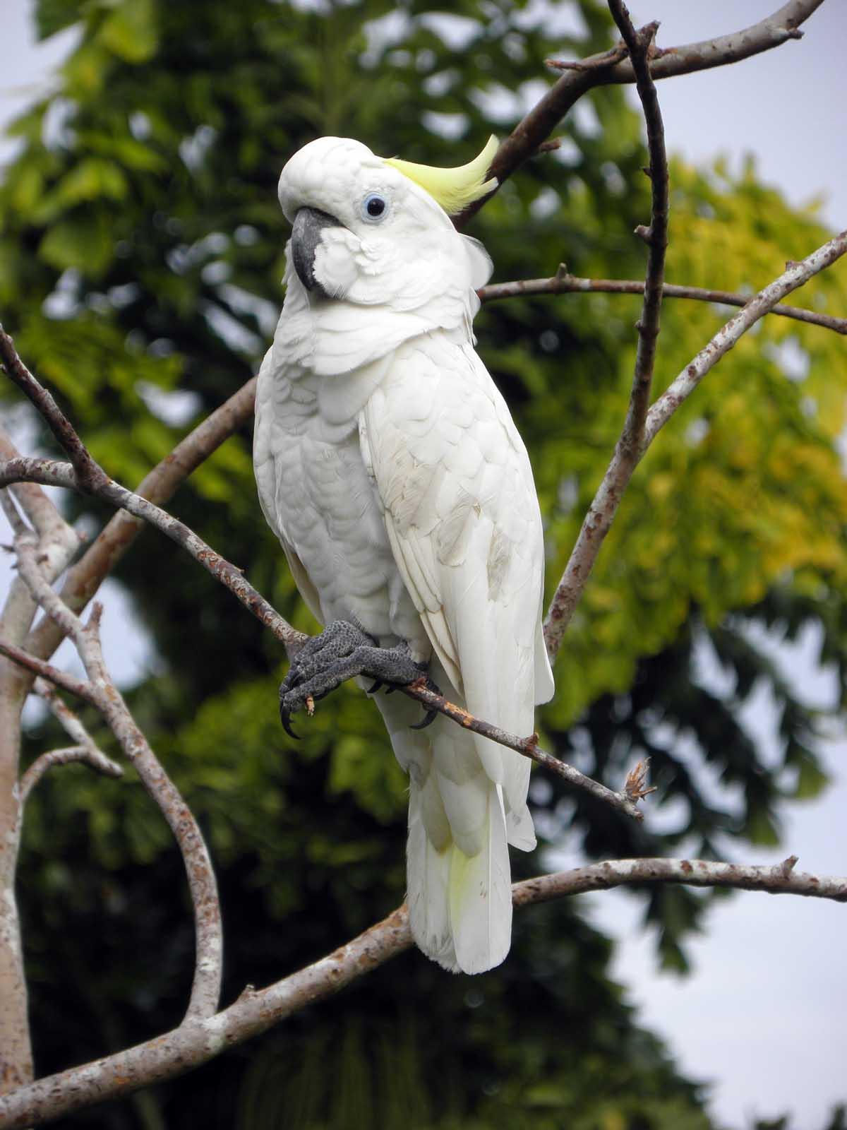 Sulfur Crested Cockatoo Madang Ples Bilong Mi