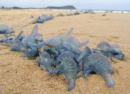 Blue Bottle Jellyfish on an Australian beach - filched from National Geographic