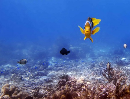 Curious Anemonefish