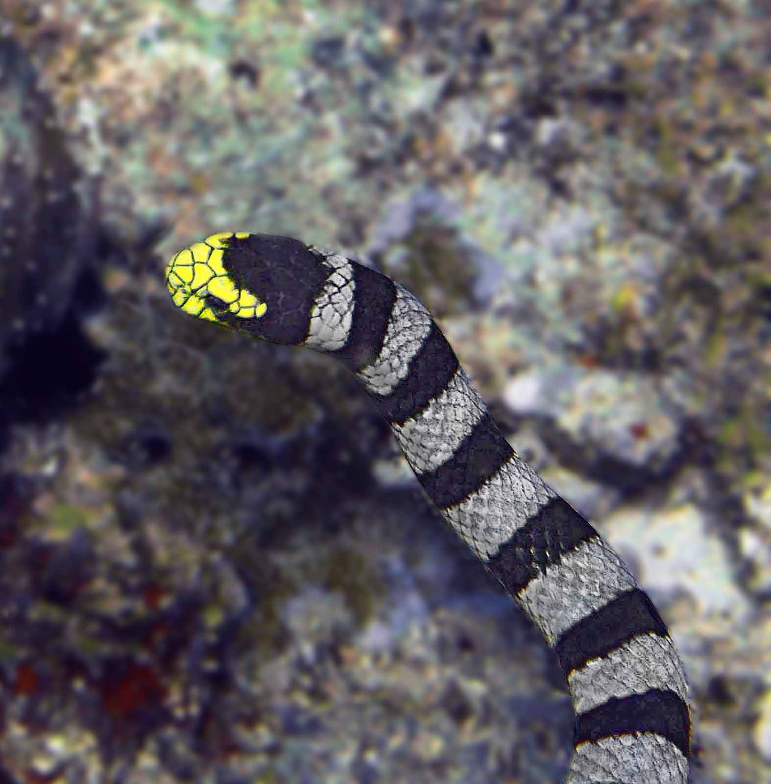 black banded sea kraitBanded Sea Snake Bite