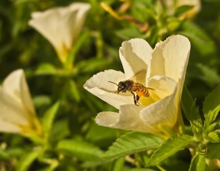A bee leaving a hibiscus flower