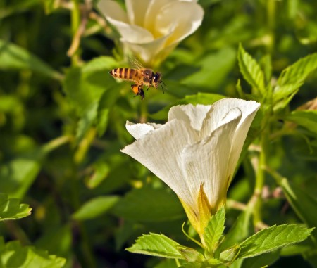 A bee approaching a hibiscus flower