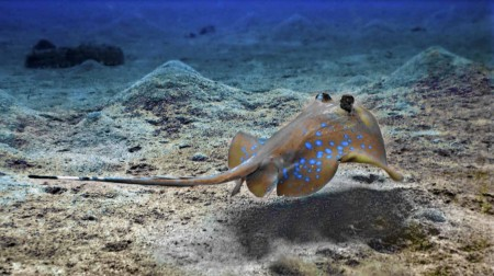 Blue Spotted_stingray