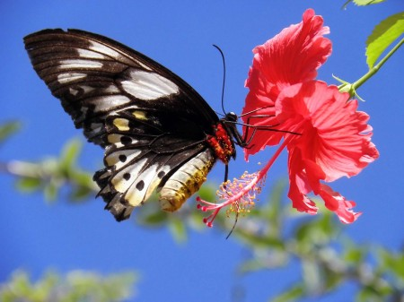 A butterfly feeding on a hibiscus by Trevor Hattersley