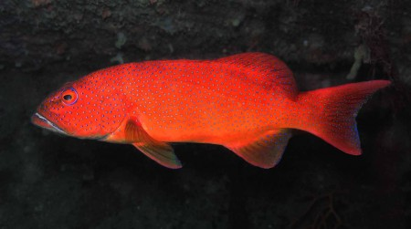 A truly drastic Coral Cod