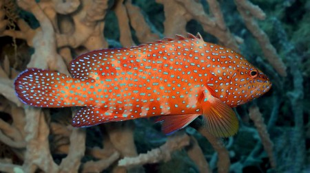 Coral Trout or Coral Cod - as you please