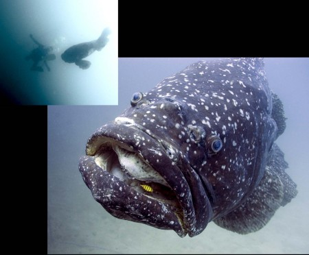 My dive buddy Ian Dosser shown up in the corner meeting the Giant Grouper