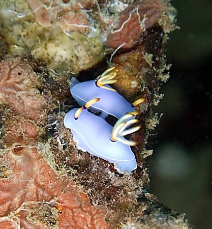 A couple of Chromodoris species nudibranchs found on a night dive on the Doilon