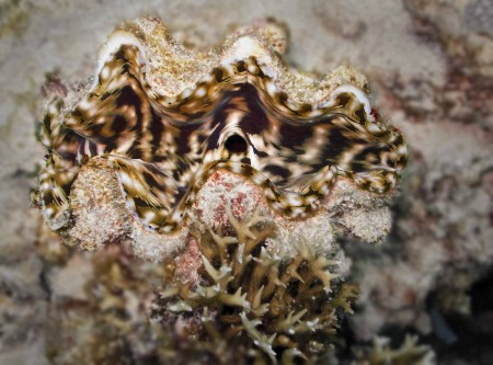 Giant Clam (Tridacna maxima)