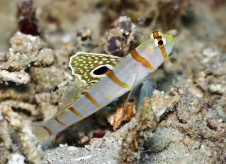 Shrimpgoby