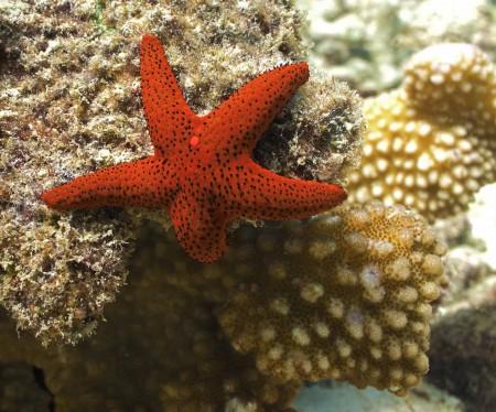 Starfish (Fromia milleporella)