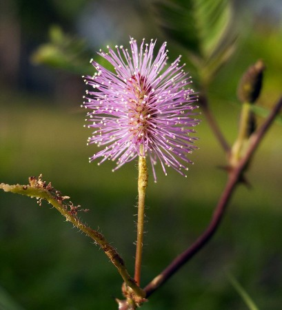 Tickle Me flower (Sensitive Plant)