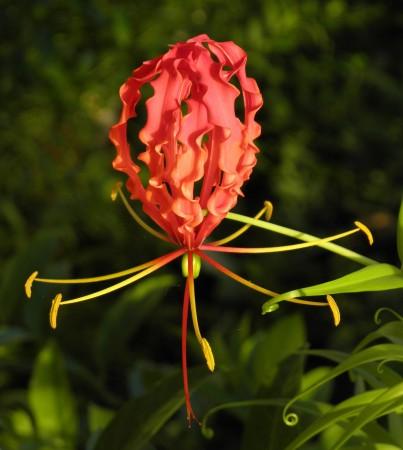 Strange upside-down flower at a more mature phase