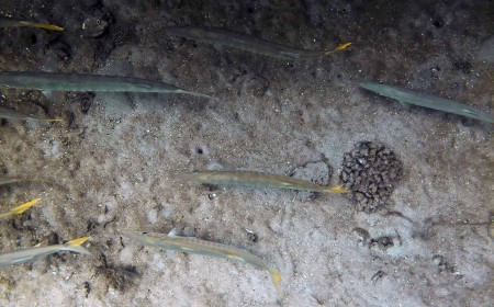 Pickhandle Barracuda (Sphyraena jello)