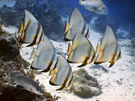 Circular Spadefish (or Batfish) - Platax orbicularis