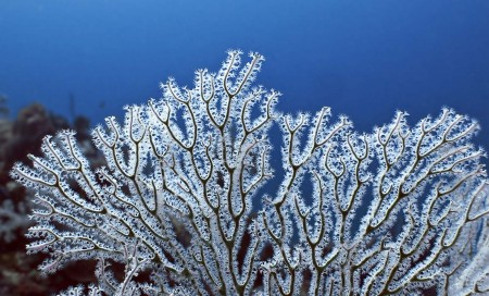 Sea Fan (Melithaea sp.)