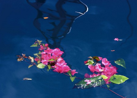 Bouganvillia flowers on water
