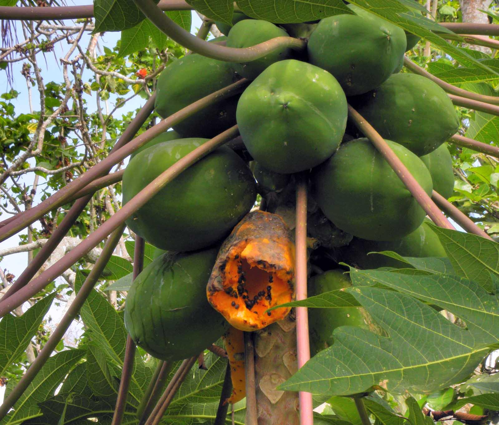 Anyway, here is a papaya tree