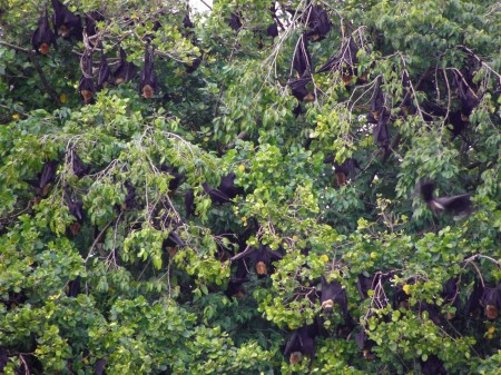 Still more Flying Foxes