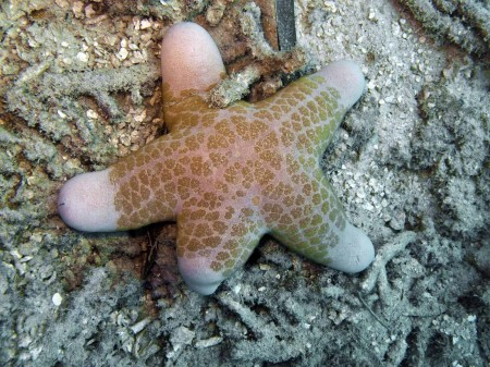 This starfish had a leg taken off by a predator. It's growing back.