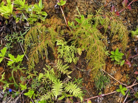 Hillside ferns