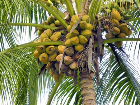 Mass of coconuts at Nob Nob Mountain