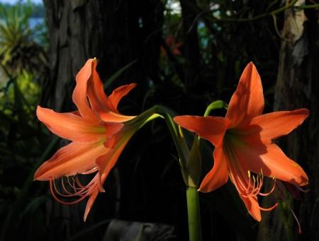 Orange lilies in the morning sun