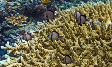 Reticulated Dascyllus (Dascyllus reticulatus)