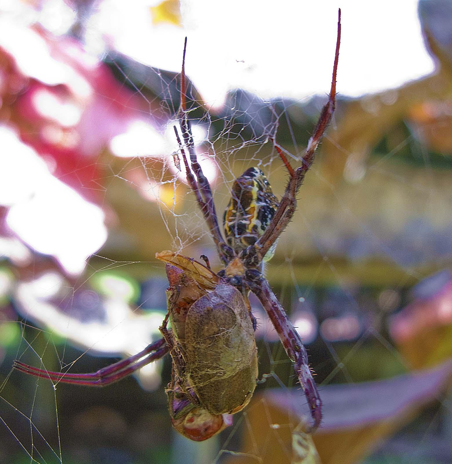 Lizards Eat Spiders Spider Eating a Huge Beetle