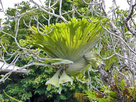 Staghorn Fern at Nob Nob Mountain