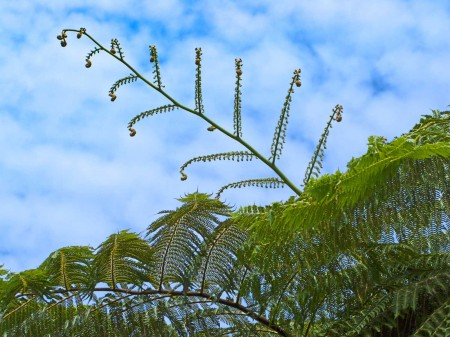 Tree Fern at Nob Nob Mountain