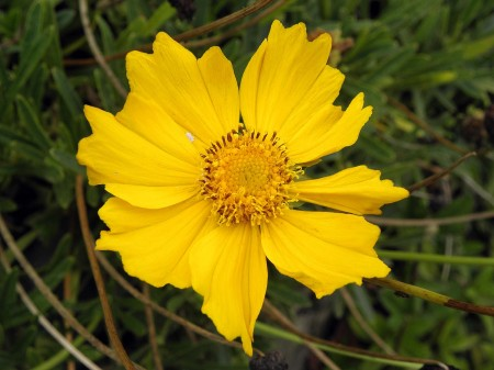 Yellow flower with scale insect