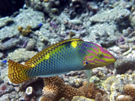 Checkerboard Wrasse [intermediate phase] (Halichoeres hortulanus)