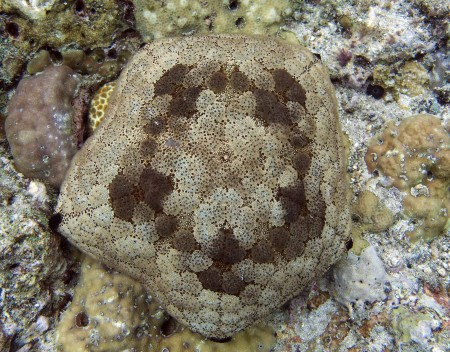 Cushion Star or Sea Pincushion (Culcita novaeguineae)