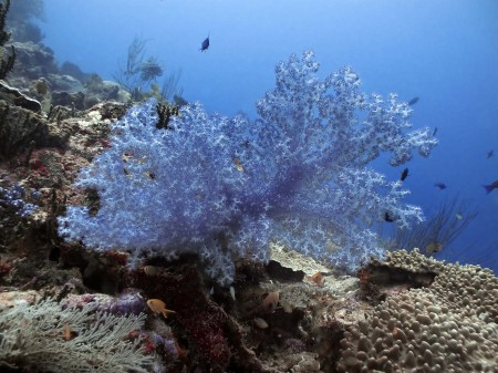 Divaricate Tree Coral (Dendronephthya roxasia)