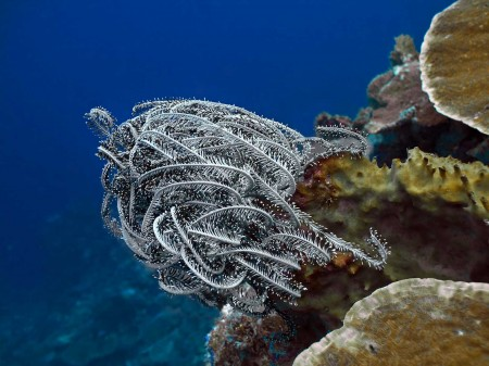 Feather Star (Comantheria briareus)