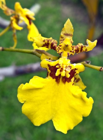 Funky Yellow Orchid from Nob Nob Mountain