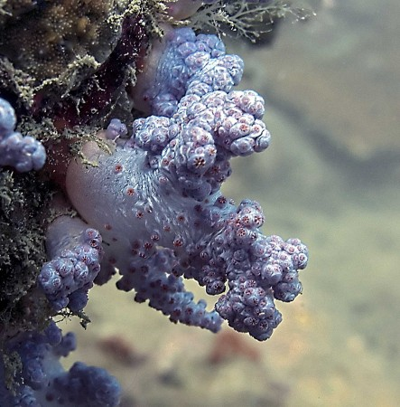 Juvenile Diverticulate Tree Coral (Dendronephthya roxasia)