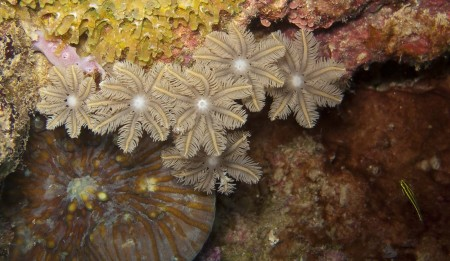 Palm Coral (Clavularia sp.)