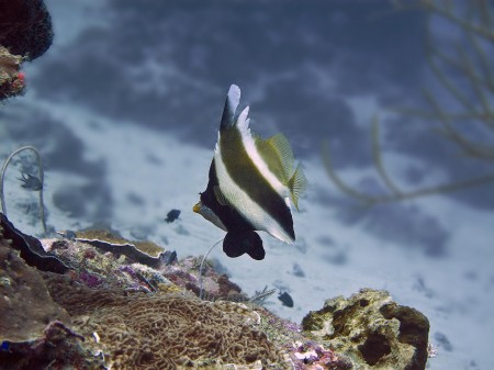 Pennant Bannerfish (Heniochus chrysostomus)