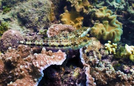 Reef Lizardfish - (Synodus variegatus)