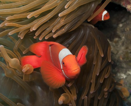 Spinecheek Anemonefish (Premnas biaculeatus) at Planet Rock